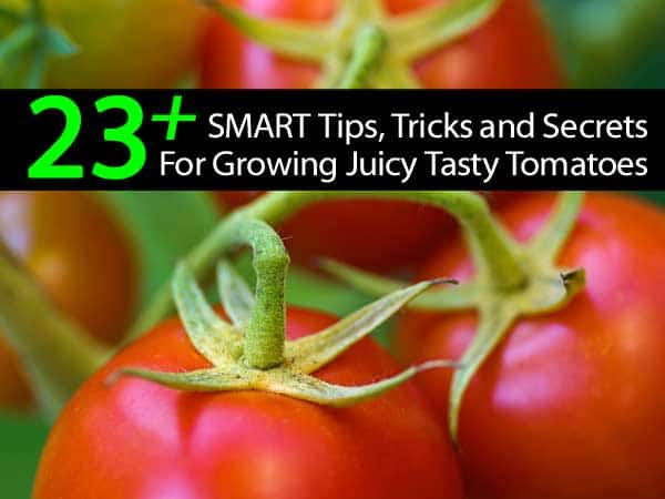 23-plus-tomato-tips-secrets-043014