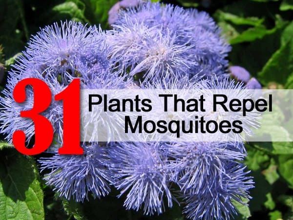 31 Plants That Repel Mosquitoes – Mosquito Repellent Plants for Your Garden