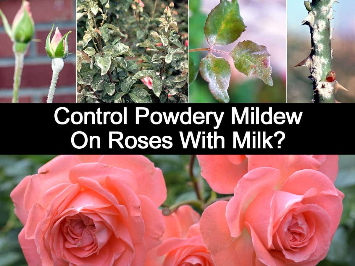 Control Powdery Mildew On Roses With Milk