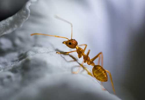 red-ant-500