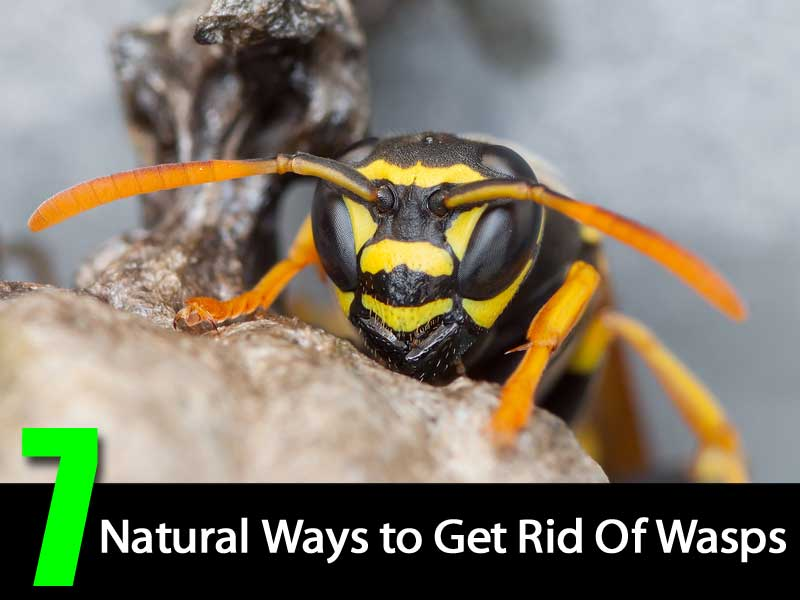 Is There A Natural Way To Get Rid Of Wasps
