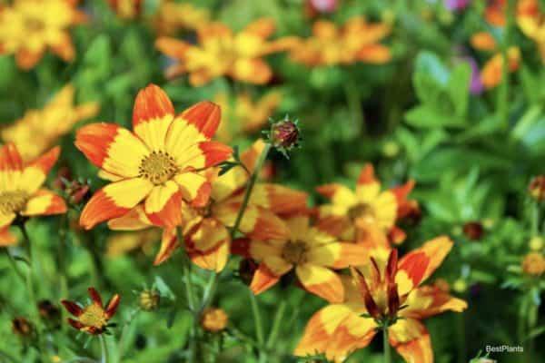 blooming Bidens plant
