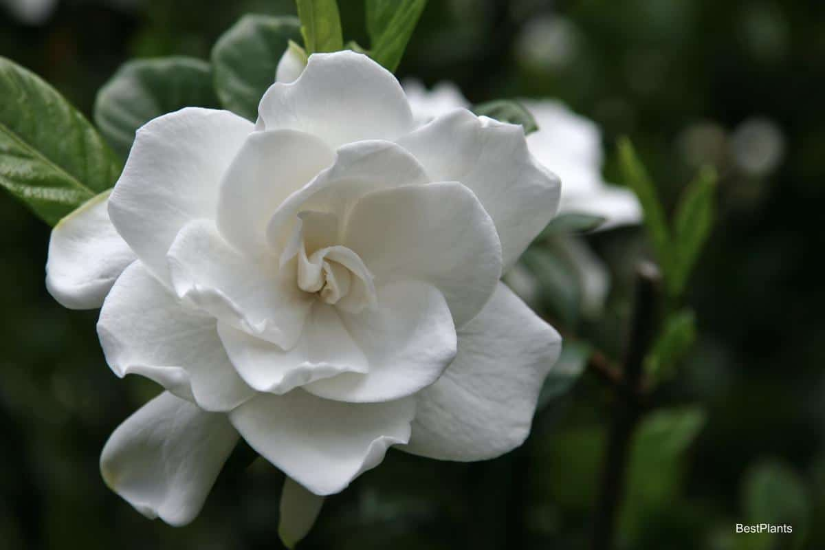 Blooming Gardenia plant