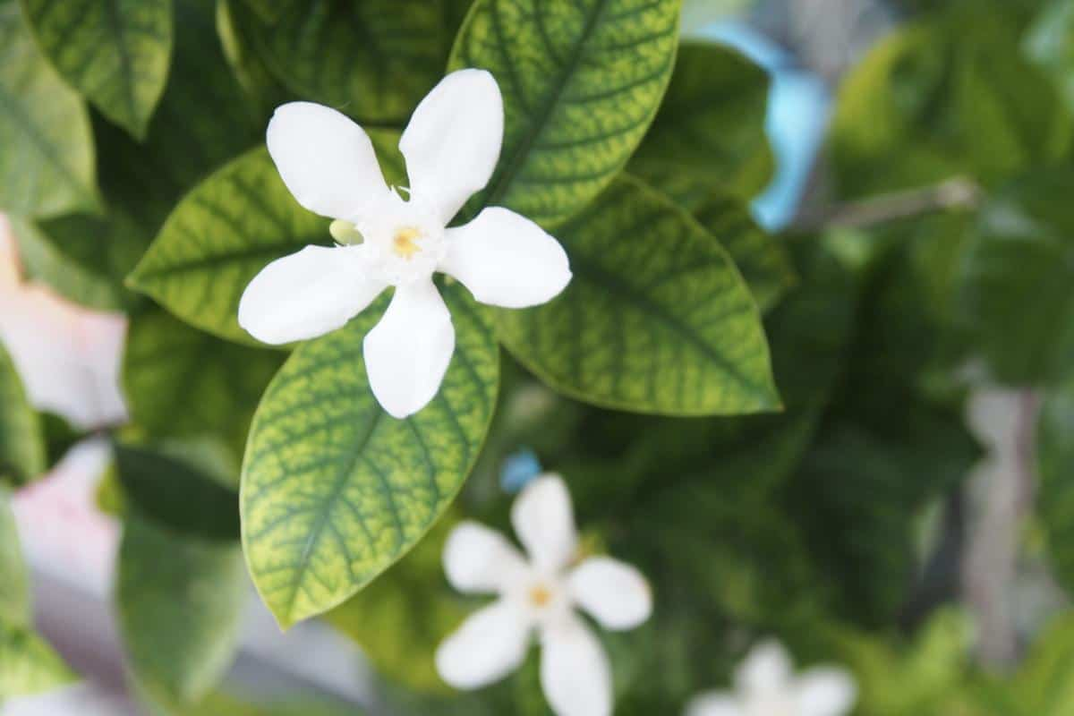 Gardenia leaves yellowing from iron deficiency