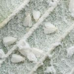 Whiteflies on underside of leaf feeding