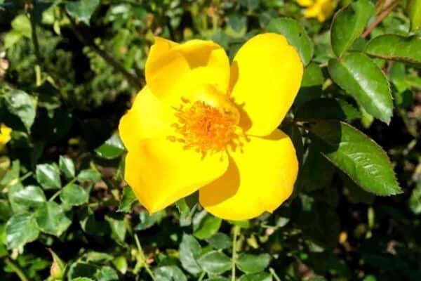 Flowering Sunny Knockout Rose