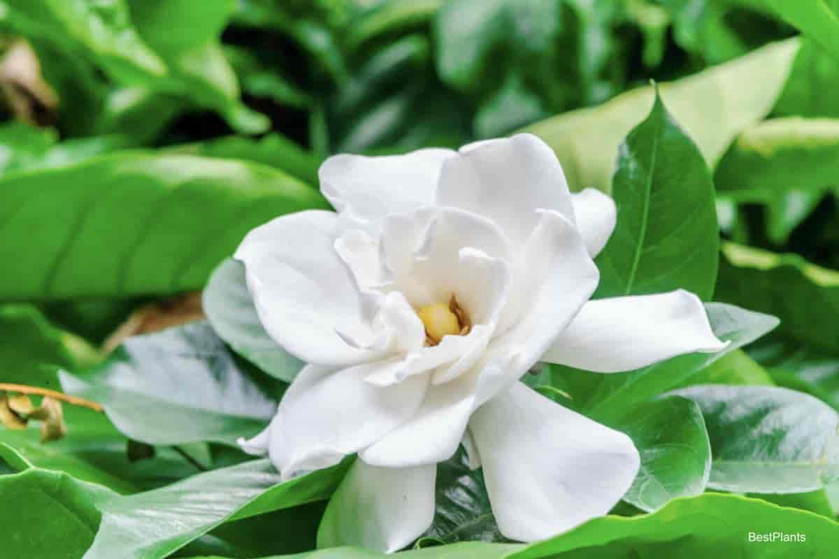 Fragrant bloom of the Gardenia jasminoides plant