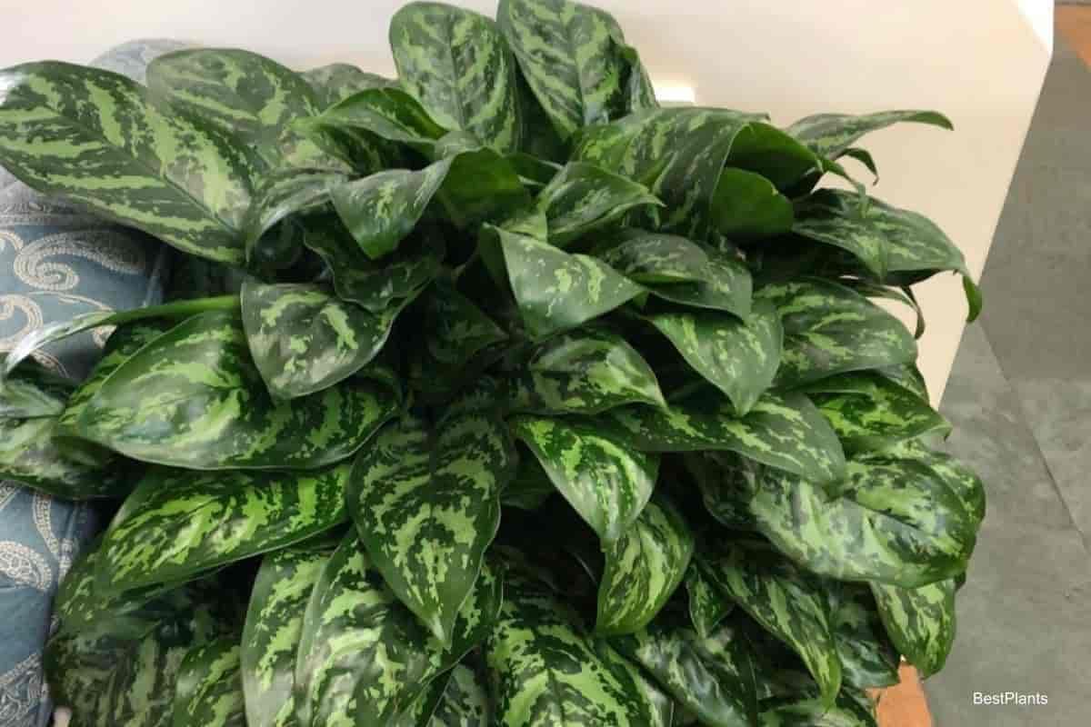 Aglaonema plant indoors