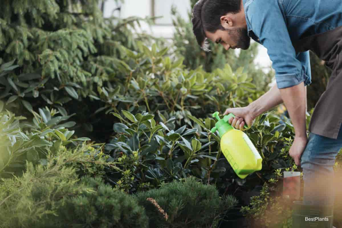 Man spraying plants in greenhouse with Neem Insecticide Oil