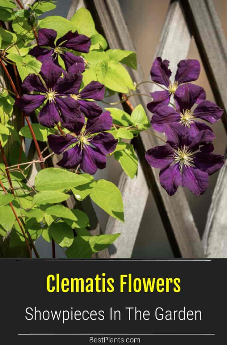 Maroon blooms on a Clematis plant