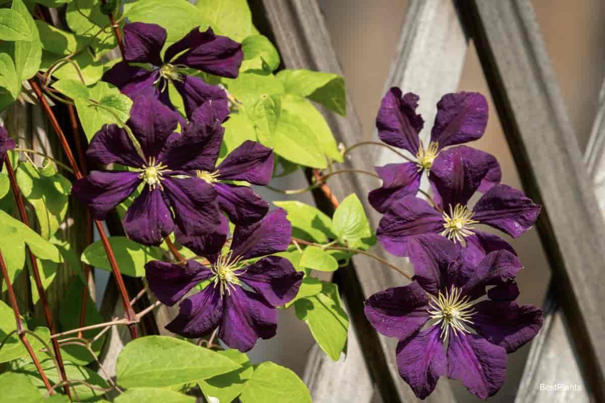 Maroon Clematis flowers