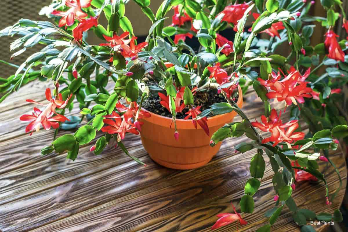 flowering Christmas cactus potted