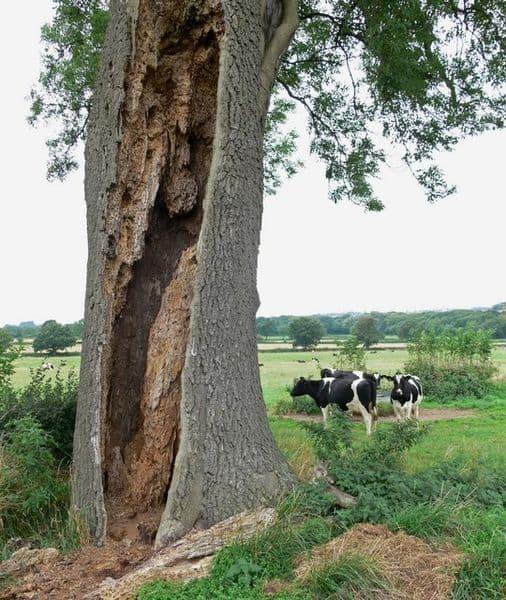ash-tree-wikipedia-06302015