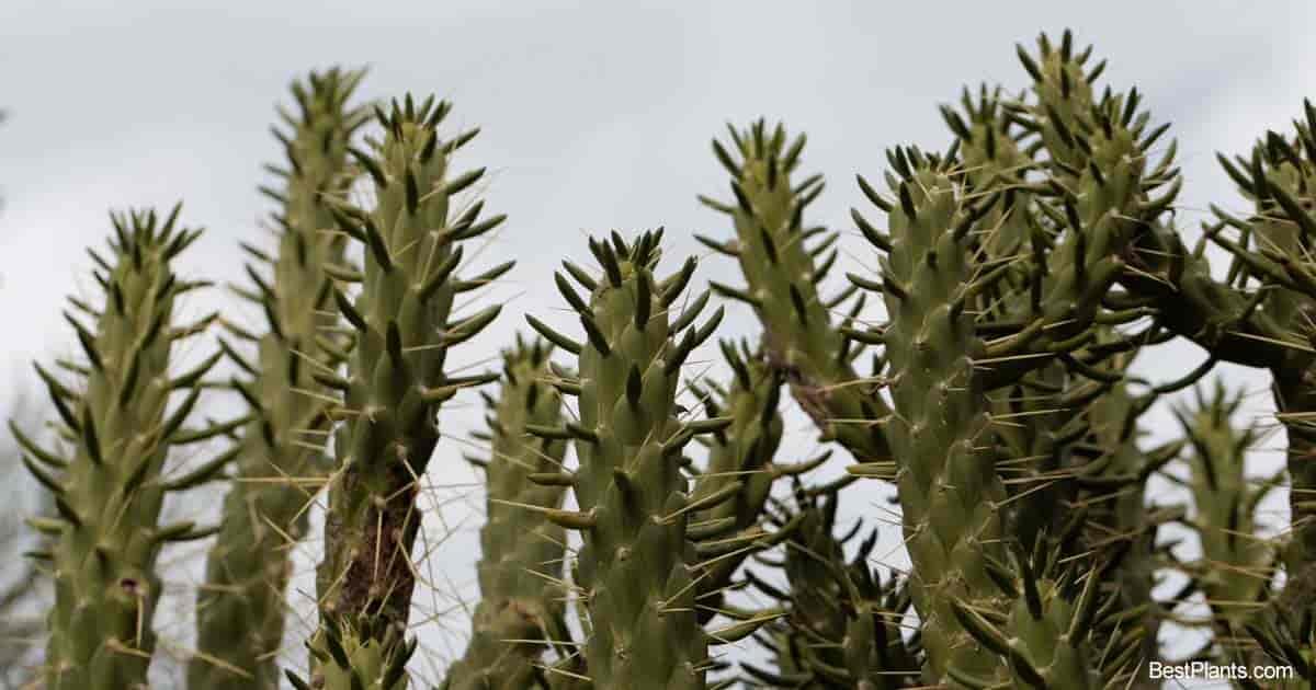 Austrocylindropuntia Subulata plant
