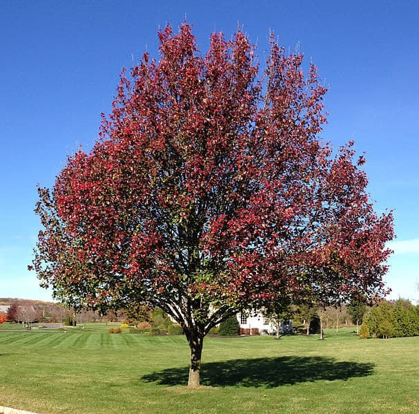 21 trees you should never plant in your yard Bradford pear