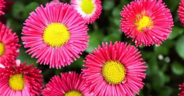 flowers up close of Callistephus Chinensis