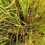 carex testacea grass