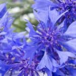 cornflower is a summer-bloomer