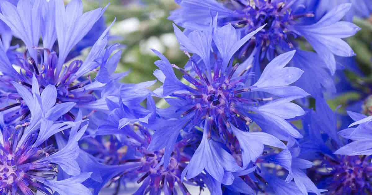 cornflower is a summer-bloomer
