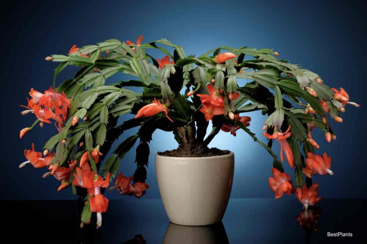large flowering Christmas Cactus