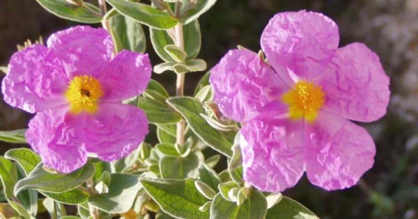 flowering cistus purpureus