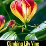 Climbing Lily Vine: Growing Gloriosa Lily Plants In Pots