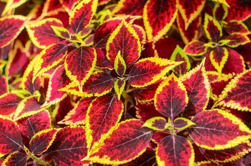 coleus plant care  for color in shade, Beautiful flower