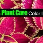 Coleus Plant Care – For Color In Shade