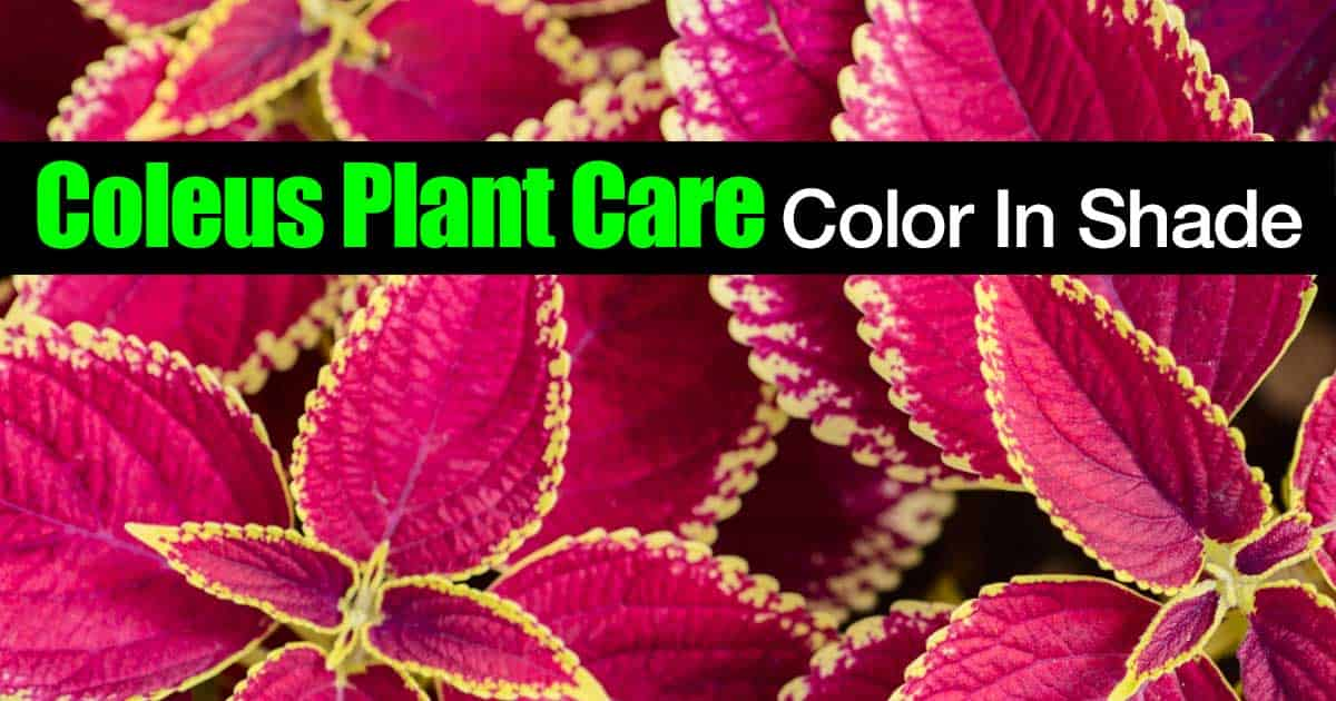 coleus plant care  for color in shade, Natural flower