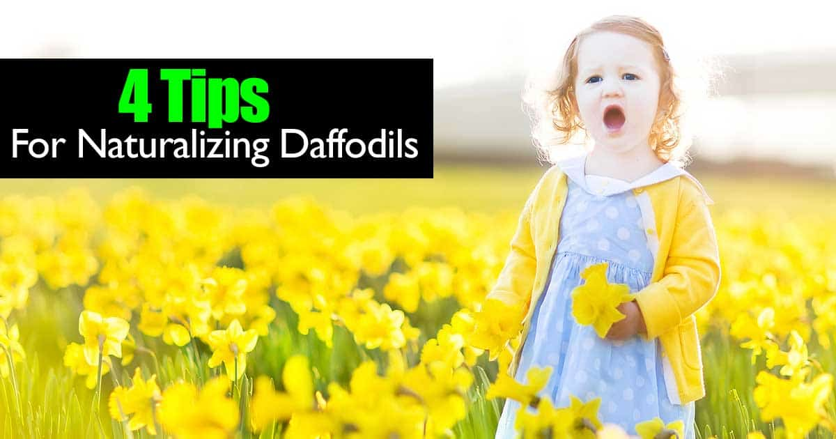daffodils-naturalizing-02282015