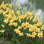 Blooming Daffodils near pond
