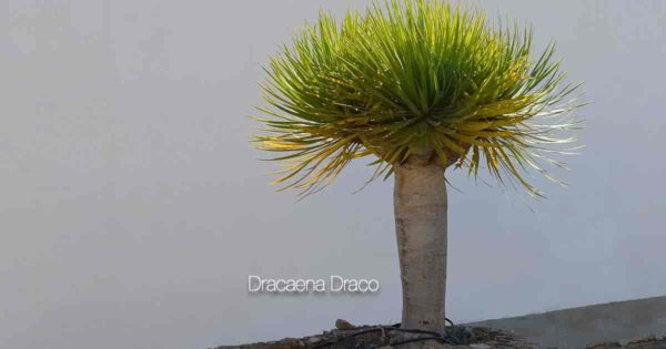 Dracaena dragon tree draco