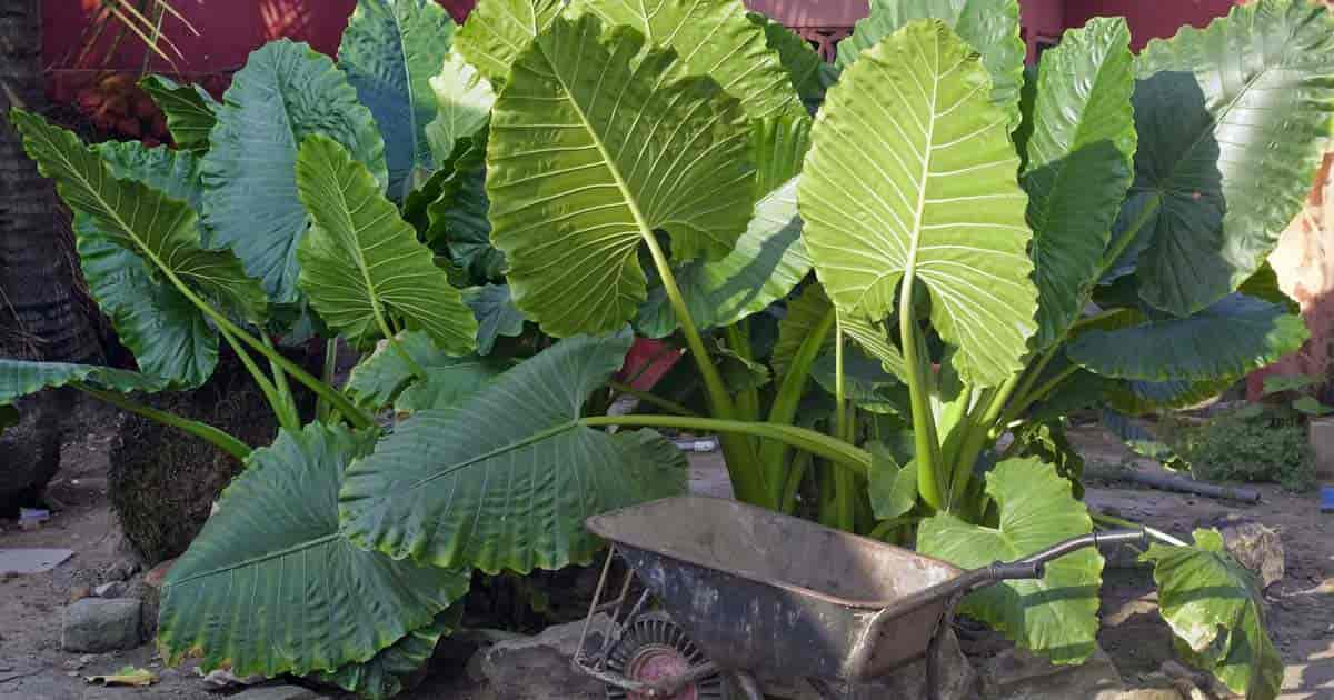 Giant Elephant Ear Plant With A Wheel Barrow Showing The Size