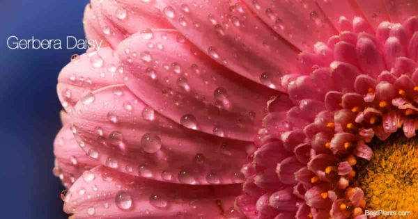 close up of a gerbera daisy flower
