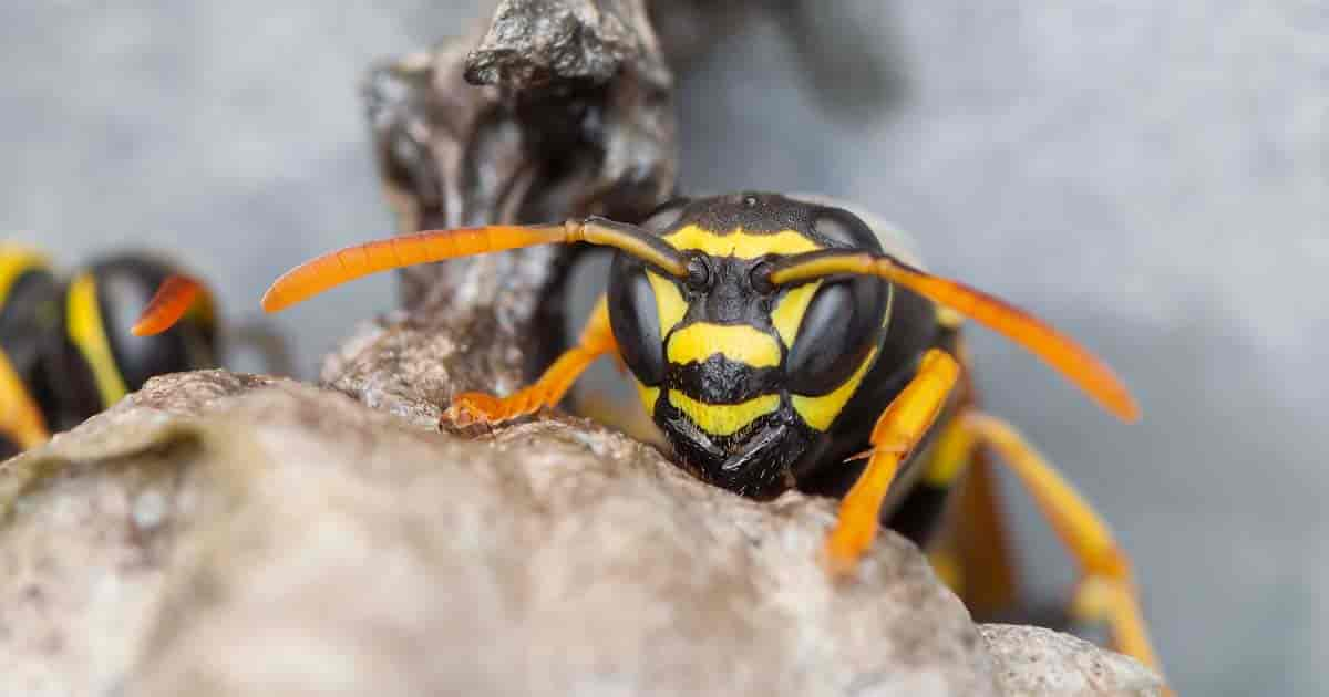 natural methods to get rid of wasps
