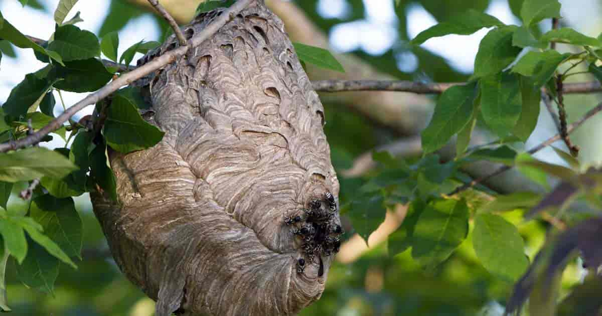 Bald-faced Hornets leaving their nest at dawn