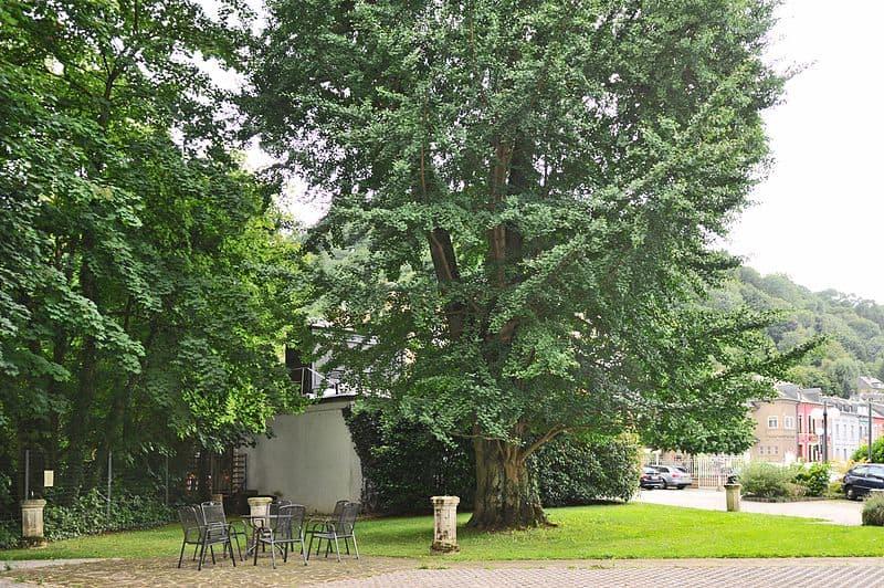 Ginkgo Biloba Female Tree