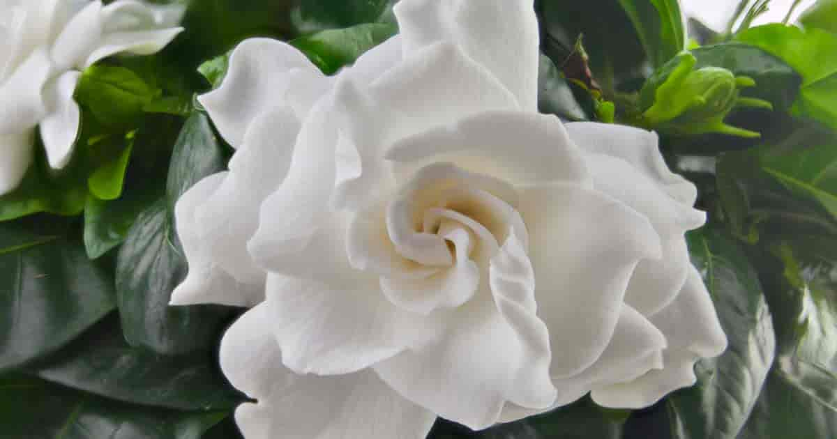 growing gardenias correctly produces beautiful fragrant blooms