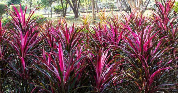 Hawaiian Ti plant growing in the landscape.