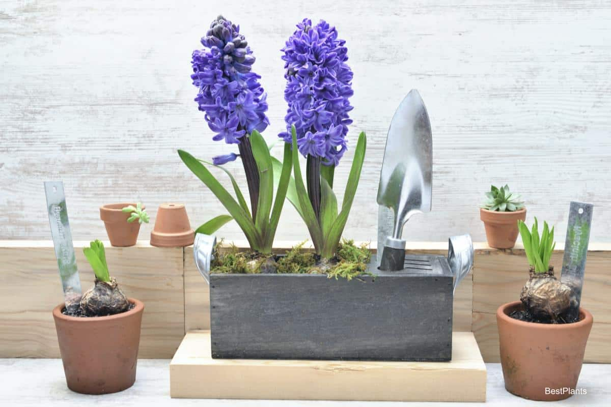 Forced blooming Hyacinth