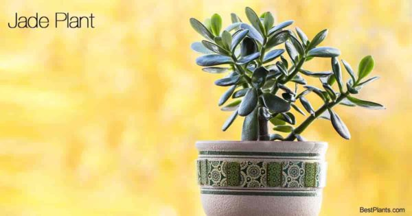 Potted Jade plant makes a wonderful indoor house plant