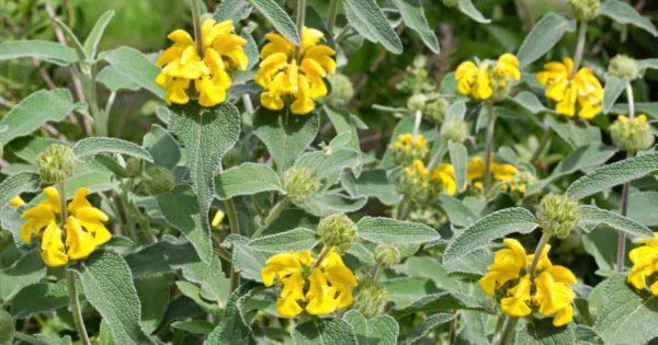 Flowers Jerusalem sage Phlomis fruticosa