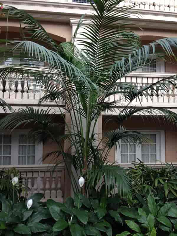 Kentia Palm at Gaylord Palms Hotel, Orlando, Florida 2017