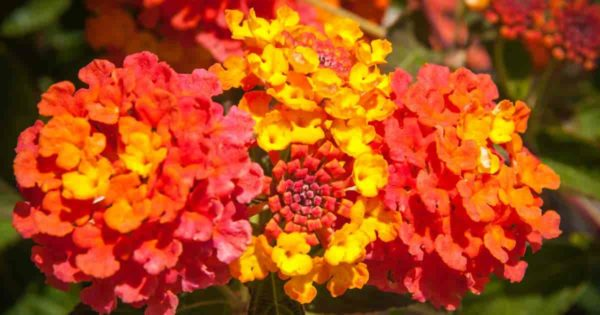 butterfly attracting flowers of the Lantana plant