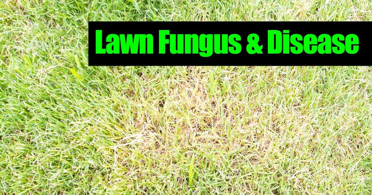 Lawn Fungus First Identify Then Treat