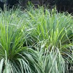 Lemongrass Care: How To Grow The Mosquito Repellant Grass