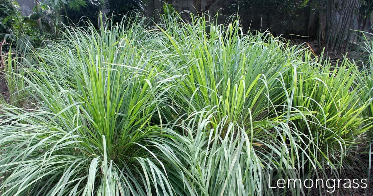 Lemongrass care how to grow the mosquito repellant grass for How do you plant lemon seeds