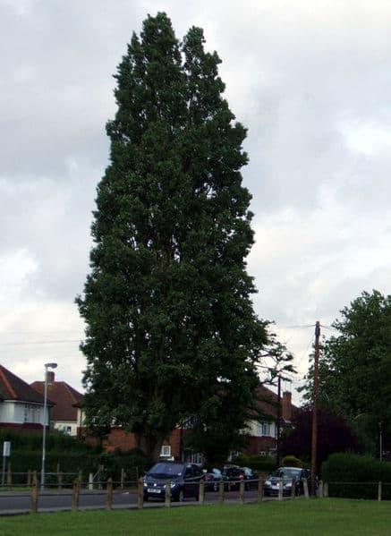 lombardy-Poplar-wikipedia-06302015