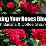 Making Your Roses Bloom With Banana & Coffee Grounds