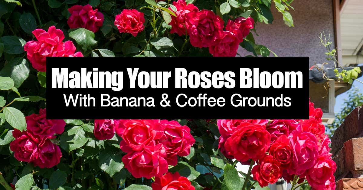 make-roses-bloom-coffee-banana-06302015